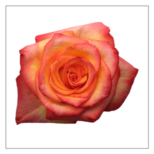 High Magic Naranjo Roses