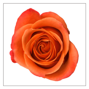 Orange Crush Naranjo Roses